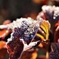 凍り付く葉