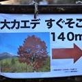 Photos: 大カエデ案内