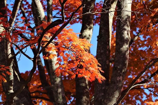 大カエデの紅葉