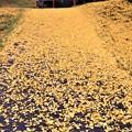 Photos: 黄色いジュウタンの参道