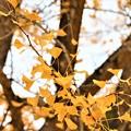Photos: 大イチョウの黄葉