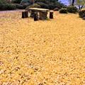 Photos: 大イチョウの黄色いジュウタン