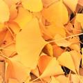 Photos: イチョウの落葉