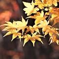 モミジの黄葉