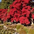 睡蓮池の紅葉