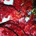 紅葉を見上げて