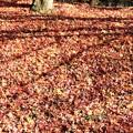フカフカの落葉