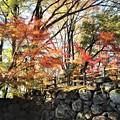 Photos: 石垣の紅葉