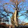 Photos: 欅の大樹