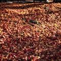 Photos: フカフカの落葉