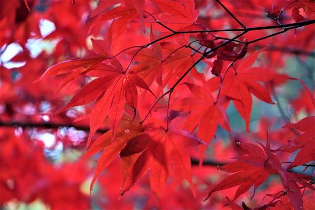 血染めの紅葉