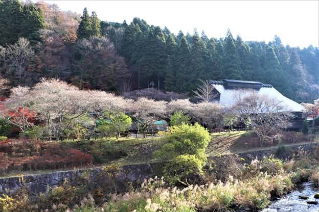 香恋の館の四季桜並木