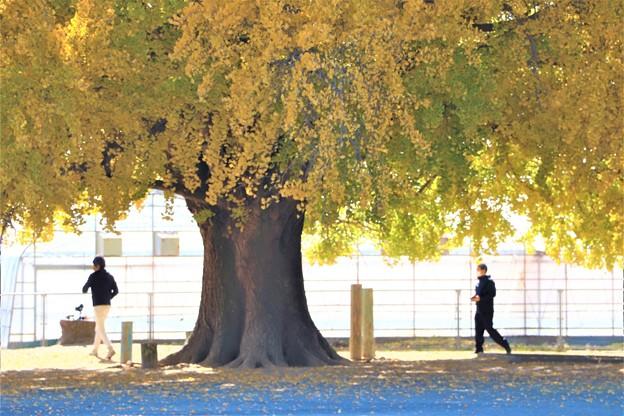 大イチョウの大木