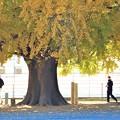 Photos: 大イチョウの大木