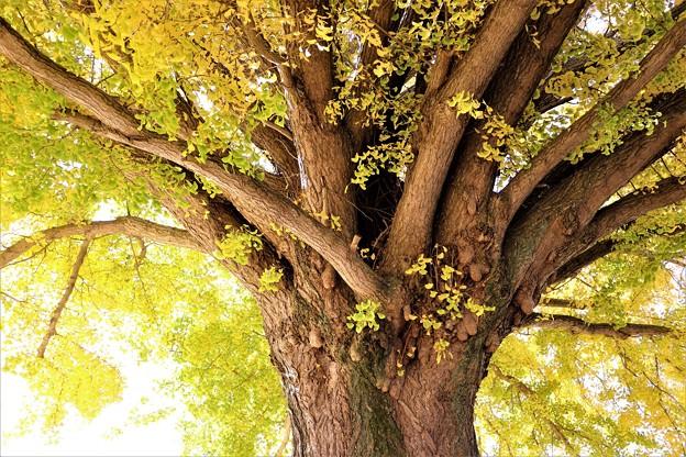 枝は水平方向に