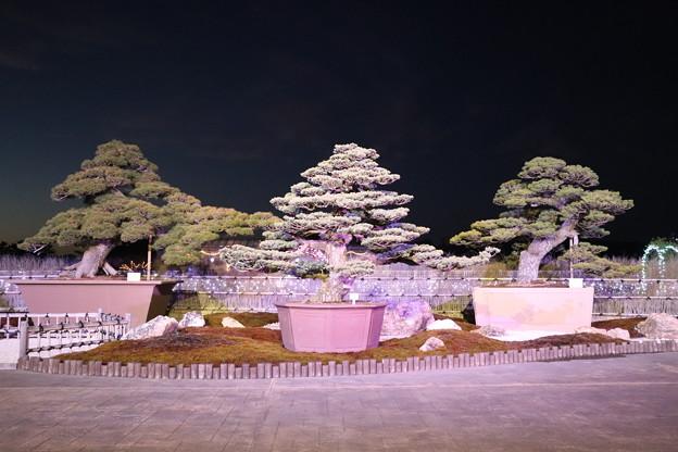 五葉松の大盆栽展