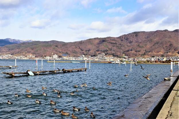 諏訪湖の鴨達