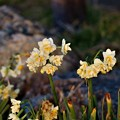 Photos: 八重咲き水仙