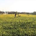 Photos: 広大な菜の花畑