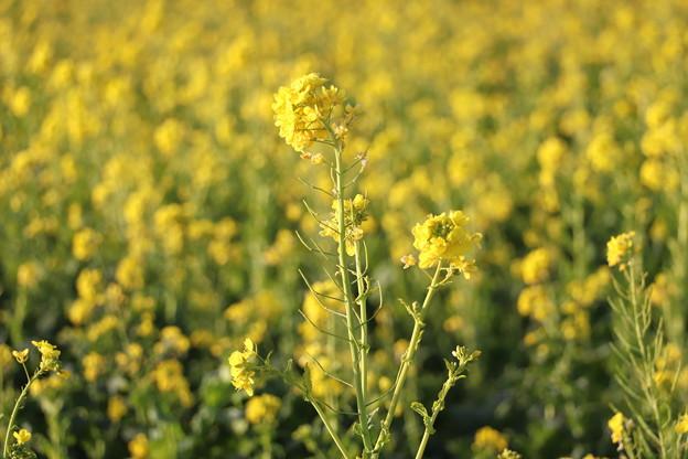春爛漫の菜の花畑
