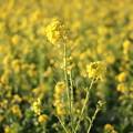 Photos: 春爛漫の菜の花畑