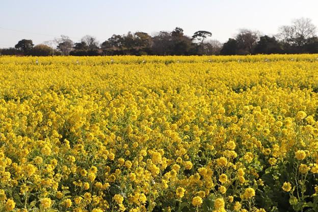 広い菜の花畑