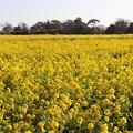 Photos: 広い菜の花畑