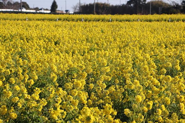 日本風景「加治町」の菜の花畑