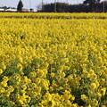 Photos: 日本風景「加治町」の菜の花畑