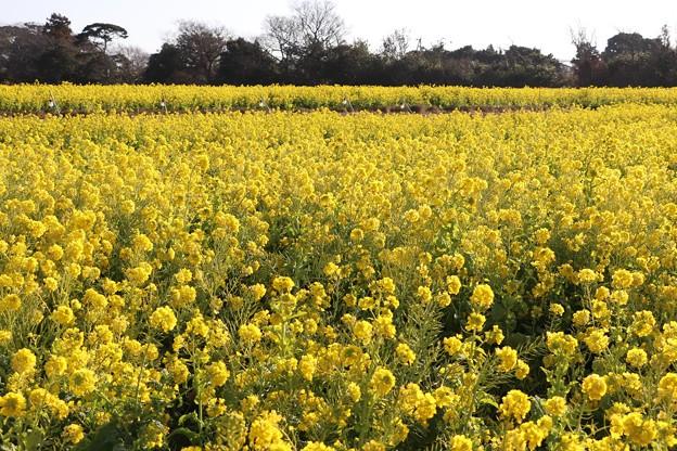 菜の花の広い畑