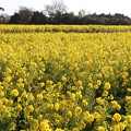 Photos: 菜の花の広い畑