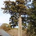 普門寺の大杉