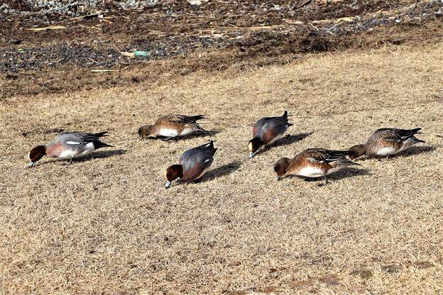 鴨達が草を食む