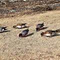 Photos: 鴨達が草を食む