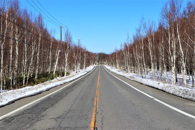 県道40号の白樺群生