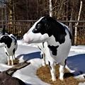 Photos: 牛のモニュメント