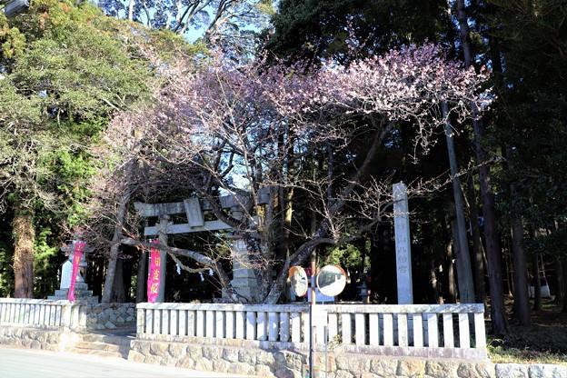 大神山八幡宮の境内に咲く「大知波桜」