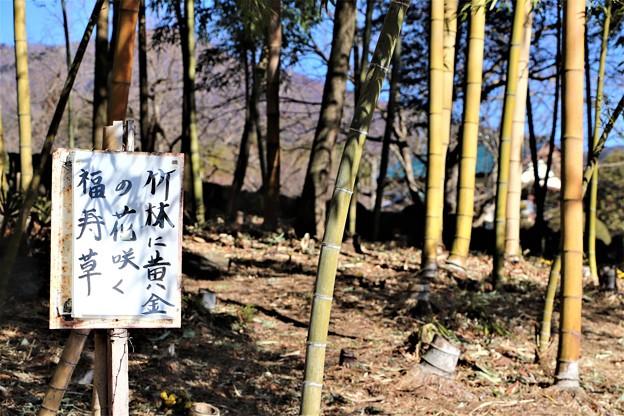 「竹林に黄金の花咲く福寿草」標