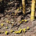 Photos: 竹林に咲く福寿草