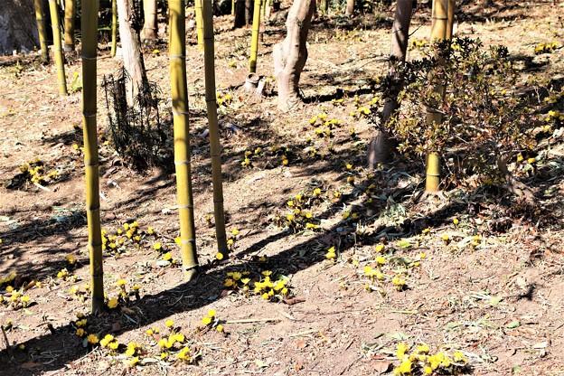 竹林に咲く福寿草