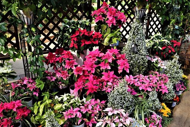 ポインセチア花壇