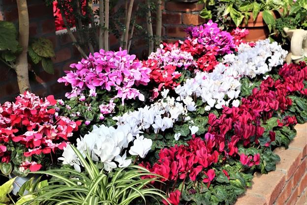 シクラメン花壇