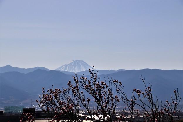 富士山と紅梅