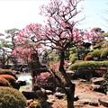 庭園池の紅梅