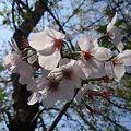 Photos: 散り逝く桜