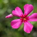 写真: スカーレットフレーム・芝桜18