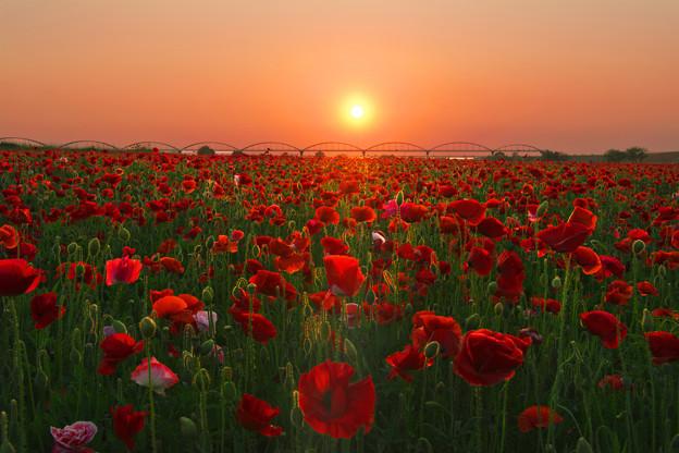 夕陽に輝くポピー