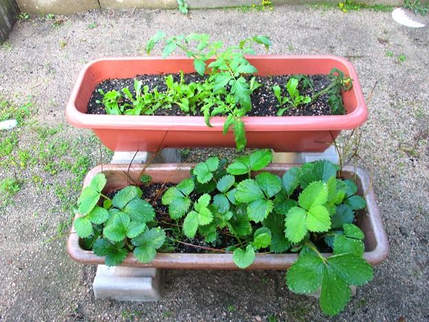 レタスと脇芽と苺