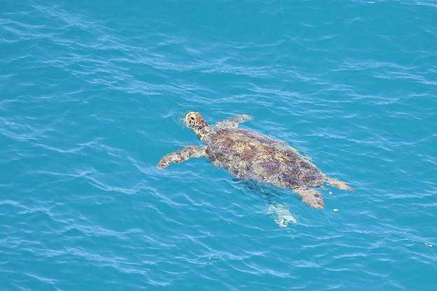 写真: ガメラ泳ぐ島