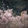 Photos: 大唐桜